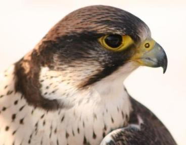 Falcons have an excelent vision. In the image a Lanner Falcon. Photo: www.ibc.lynxeds.com
